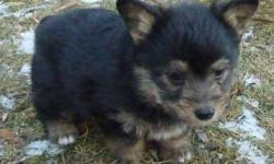 Healthy, happy, tiny, fluffy, male ,Welsh Corgi cross puppy. Black and brown with a touch of white. This 8 week old little chap is very unique, he has the corgi conformation in a mini body. He weighs less than 3lbs, is very fluffy, has a docked tail,