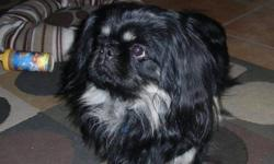 our sweet boy needs a new home as we are unable to keep him in our rental home. he's a black purebred pekingese. full of life, spunky, affectionate and very loyal to me. raised with 2 little boys. if you can provide a loving home for my baby please