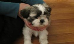 We are looking for a new home.  Our owner says we are 2 of the cutest little shih tzus, she probably is a little biased cause she loves us so much. Our mom and dad are on site, so you will have an idea how we will turn out when we are bigger.  We are well