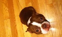 I have 2 Boston Terriers for sale. Both are 1.5 years old. They are both registered. One is female and one is male. The female is Brindle and the male is red and white. They have been raised with 3 children in the house age 2, 7, 10. They need alot more