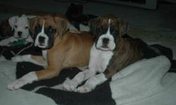 We have 2 female boxer puppies ready to go. 1 brindle and 1 fawn. dew claws, tails, 1st shots & dewormed. Both parents are our family pets. call 905 892 3716