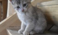 I have 2 female kittens to give to good homes. They are about 10 weeks old and are litter box trained. The first kitten in the picture is a creamy color, she has gray, peach and some white. And the second kitten is almost a light tabby color. She has an