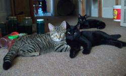 There is only 2 cute kittens left!!  These are both FIXED.  They are both male.  They are nervous  having been born outside but was in since October when they neutered.  Out of these two, the striped one is more friendly.  They are use to the ones in the