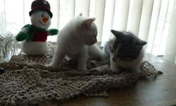 we have two baby kittens that are now ready to go to a new home! We have one that is all white, and the other is white and grey. They are both female, litter trained, very playfull, and cuddly! Respond to this ad if interested  =)
