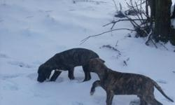 2 Purebred Great Dane Puppie's looking for good homes They are raised in our home with kids and other pets both parents on site almost fully house trained we have 2 Male Brindle pups left asking $500 call 705-848-4398 Delivery can be arranged :D