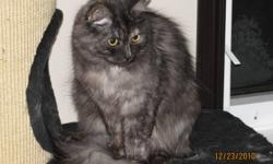 Ms. Nikhila-Nova ($500) Ms. Nika is a shyer girl that would do best in a single female home, or a home with no young children or other pets...at least not aggressive pets... She is not aggressive at all...and loves attention - once she trusts you...tends