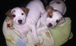 FIRST SHOTS/ DEWORMING TAILS DOCKED PureBred Puppies 10 weeks old Pad trained Kettle Trained 2 boys left from a litter of five We own mother and father. $600 reduced down to $450 call now for viewings. 778 982 3343 we are in Mission and available after