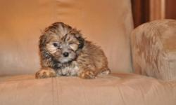 2 female Maltese X Shih Tzu puppies, non-shedding, hypoallgenic, great companions, highly intelligent, excellent family pets, the father is a pure 8lb Maltese, the mother is a pure 11lb Shih Tzu, they are ready to go to their new homes now, 1st set of