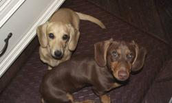 I have 2 purebred reg'd dachshund, 4 month old available for sale. Female is small,cream color and VERY affectionate. The male is a chocolate and tan and very outgoing and intelligent, he is not ckc reg'd. They are both fully crate trained and house