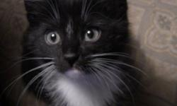 We have 2 indoor kittens avalible, they are about 8 weeks old and ready to go to there new home! They are all healthy kittens that love to play and snuggle! we have one black and white on and a grey striped one. They are litter trained, please indoor