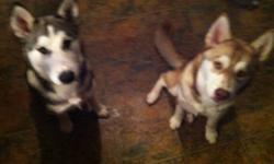 I have a male and a female husky to give away to a loving good home. They are 8&6 months old. They are from different litters and would be perfect for breeding. They do need to be trained as I don't have time to train them. Would like them to go as pair.