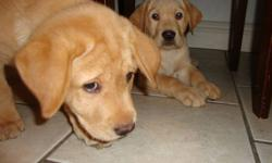 We have 2 beautiful Yellow lab puppies left for sale! They had there dew claws removed and had their first shots and deworming. Puppies have been raised with children and they are paper trained. Mother is a great family dog, great temperament and amazing