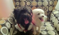 We have two beautiful pom-poodle one white one black (gizmo and charcoal being their current names) these dogs are a joy to own but we already have 4 dogs being the animal lovers we are we accepted 2 more into our home. If you would like to meet gizmo and