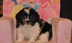 3 Bichon X Shih Tzu puppies, born Nov. 15th, 2 boys in the first 2 pictures and 1 girl in the last picture, their father is a pure Bichon and their mother is a pure Shih Tzu, they will weigh 10 to 12lbs when full grown, hypoallgenic, non-shedding, good