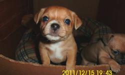 I have 2 females and one male chichuaha. asking 600.00 Ready for new home Jan. 9, 2012