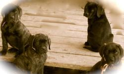 We are offering some really wonderful female English Mastiff Puppies at a truly unbelievable price. I have 3 puppies available from beautiful Amber she is AKC registered and 140 lbs. The sire is our stunning 217 lb AKC registered brindle male Cashious