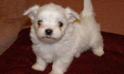 I have 3 female Maltese for sale who were born November 21 and will be ready for their new homes by the middle of January only, They will be between 3 to 6  lbs full grown.  They will be vet checked, first needle and wormed several times.  I ask for a