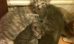 We are three, approx. 10 month old, kittens, black-grey tabby, two boys and one girl. We are ready and waiting, FREE to good homes that can provide loving care. We are active, healthy and litter trained Thank you for all replies the kittens have found