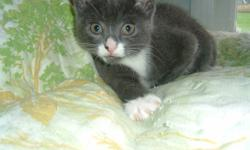 """9 weeks old, had first needles, dewormed, no fleas.  Grey and white """"Josi"""" Black and White,""""Vanessa"""" and Tortie """"Lily""""  Please contact my mom at mailto:c_swetnam@hotmail.com if you are interested :)"""