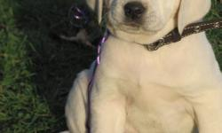 White English Lab Puppies!  8 Boys, 3 Girls.  Well bread, adorable and so sweet! A White Lab is the lightest of the Yellow Labs. English Labs are gentle, calm, with a stalky stature. Labs have an excellent temperment and are great family dogs. Labradors