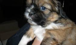 3 MALE SHIH TZU PUPPIES FOR SALE!!!   Born Nov. 16/11 Available to go home Jan. 21/12 with vaccination and deworming   Fur will not shed (have hair - not fur), good for people with allergies.   Call Denise at 902-827-5860   Arrangements can be made for
