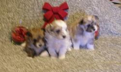 I have 3 cute Maltese mixed with Sheltie puppies for sale. They are raise in our family home and very socialized , will be vet checked, first needle and wormed several times. I have 2 boys and a girl. They will be ready during the Christmas holidays for
