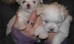 I have 4 female Maltese for sale who were born November 21 and will be ready for their new homes by the middle of January only, They will be between 3 to 6  lbs full grown.  They will be vet checked, first needle and wormed several times.  I ask for a
