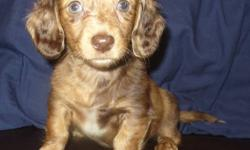 We have 4 miniature dachshunds for sale they are family raised this is our last batch, these puppies come with their first shots and will be dewormed, vet checked and will also come with their vet record book. They are paper trained and on solid food and