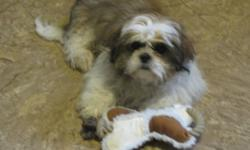 """SOLD     I have a 4 1/2 month old shih-tzu for sale...We bought """"Maddox"""" about 3 weeks ago and he is an absolute sweet heart but with our busy schedules we are finding it hard to give him the love and attention he deserves.  He is fantastic with other"""