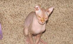 He is a red sphynx with tons of love to give. He is extremely gentle and affectionate and needs a good loving long-term home. We are willing to include his bed, blanket,toys, two scratching posts and food. We have leather furniture and he doesnt scratch