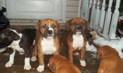 Looking for good family homes for 5 boxer X pups. They will be ready to go on Sunday, January 8, 2012. 4 Females and 1 Male, Mother and Father on site, excellent with children and other animals. All pups have been; de-wormed, vet checked and first