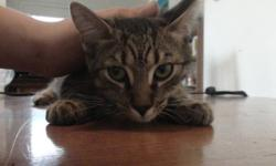 5 month old kitten free to good home. He is litter trained and very inteligent, he awnsers to bolth names (ninja and monster) name and is very good with dog's and children and other cat's. And even with the elderly. He is very playful.