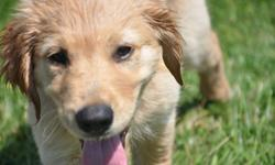 Max is a 6-month-old purebred golden retriever. He?s been Vet checked, had all three vaccinations including rabies,and has been neutered. He will go home with his health records, a bed, toys, leash & collar, and an unopened bag of food. Please contact me