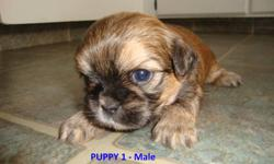 6 ADORABLE SHORKIES FOR SALE   Mom (in picture) is a Shih-tzu Dad is a pure-bred Yorkie 4 Males & 2 Females Available Comes with their first set of shots,  de-worming, and vet check They will be between 5-10 lbs Asking $350.00 Firm   PUPPY 2, 3, 4 & 6 ARE