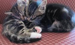 10 Week old personable loving kittens great with kids and older cats.  2 females:  1 black and 1 black&white. 4 males:  2 blacks and 2 tabbys (one light brown and 1 darker brown).   They are very affectionate, have great personalities and respond to
