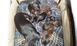 We had 7 mini dachshund puppies, born August 26th. There are only 4 left, 2 brown males, 1 black male, and 1 black female. The puppies are ready to go October 21st. Their first shots were given on October 22nd. And they are de-wormed. These dogs are