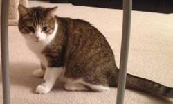 Pixel is a 9 month old cat that has had her shots, check ups and is spayed.  She is a cute and curious tabby with white mittens.  She especially loves playing with feather sticks,drinking straws and laser pointers. We aren't home enough to give her all
