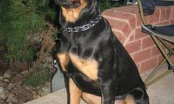 Pure bred 9 month old Rotti , crate trained, vet checked, rabies shots. Knows a few tricks, quick lerner. Rotti needs new family that will have time for him.