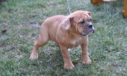 9 Olde English Bulldog puppies, 6 males in the first 6 pictures and 3 female in the last 3 pictures, the last female is $1800.00 or I will keep her, the father is Dogface Hemi from Minnesota U.S.A. know owned by us, the mother is Blacks Dora, the parents