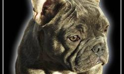 Absolutely Amazing! Beautiful Blue French Bulldog! This boys got it all!!! He is perfect in every way beautiful, healthy, amazing temperament! Not to mention his exotic and rare color! He turns heads and has people always admiring him! Has grown up with