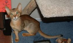 Beautiful ruddy female Abyssinian cat available.  Indoor only please.  Very sweet and affectionate. Call 250-516-4201