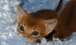 Abyssinian Kittens Available.  Kittens are vet checked and vaccinated prior to placement. TICA registered.   250-516-4201