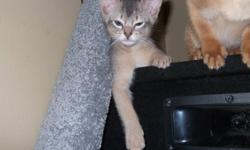 I have 2 Abyssinian kittens ready to go. One male fawn One male Blue Litter trained and de-wormed.   Call me to arrange veiwing of these cuties. 1-289-969-2952   Delivery of kittens can be arranged.