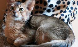 PLEASE ***do not send to us e-mail without identification*** *do not send to us e-mail pUTTING a price in our cats*   RUDDY MALE ABYSSINIAN - (Pet or breeding).   About Us and Our Cats   This cat is qualified as show and breeder or only as a pet.   Be