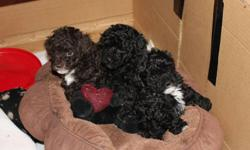3 very cute non registered toy poodle puppies.   One brown male and two black females.They will have first shots and be dewormed.  Available at 8 weeks of age as of Jan 13th.   Mother is black with white markings and weighs 8lbs. Father is chocolate brown