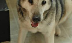 Ben is an 8-10 year old male Shepherd/Husky mix. He is neutered, up to date on vaccinations and housebroken. We received Ben from Winnipeg Animal Services when their kennels were full. He was brought in as a stray, and never claimed. Ben is a low energy
