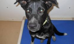 Chester is an adorable young Black Lab mix who came to us after he was picked up at large in the RM of St. Andrews. Chester is quite perplexed at being locked in a small kennel, we are sure he would love wide open spaces to run and play! Chester is