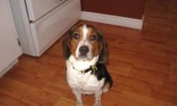 ADOPTED!!! Quinn is a sweet 10 1/2  month old female Beagle looking for her forever home. She is good with cats and other dogs. She needs a little work on her house training as she came from a place where she lived in an outdoor cage. She will be spayed