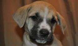 Snowflake is a 8 week old female Bull Mastiff/Boxer mix. She was rescued from Sagkeeng First Nation along with her five siblings. Snowflake is the runt of the litter, but what she lacks in size, she makes up for in spunk! This dog is available for