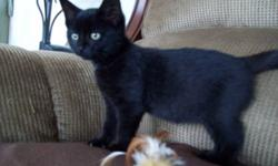 Breed: Domestic Short Hair-black   Age: Baby   Sex: M   Size: M DOB August 15 ,2011 Finn has one strong, loud motorboat purr... he can be heard all the way across the room. He loves to be cuddled and will lie on his back completely relaxed lapping on all